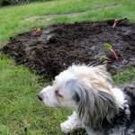 die kranke Amy bewacht letargisch den frisch gepflanzten Rhabarber