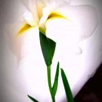japanische Sumpfschwertlilie